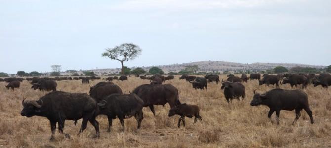Serengeti – Safari day 4