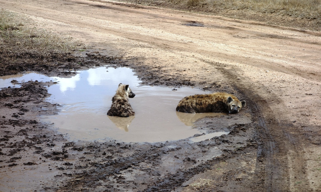 Hyenas resting in water