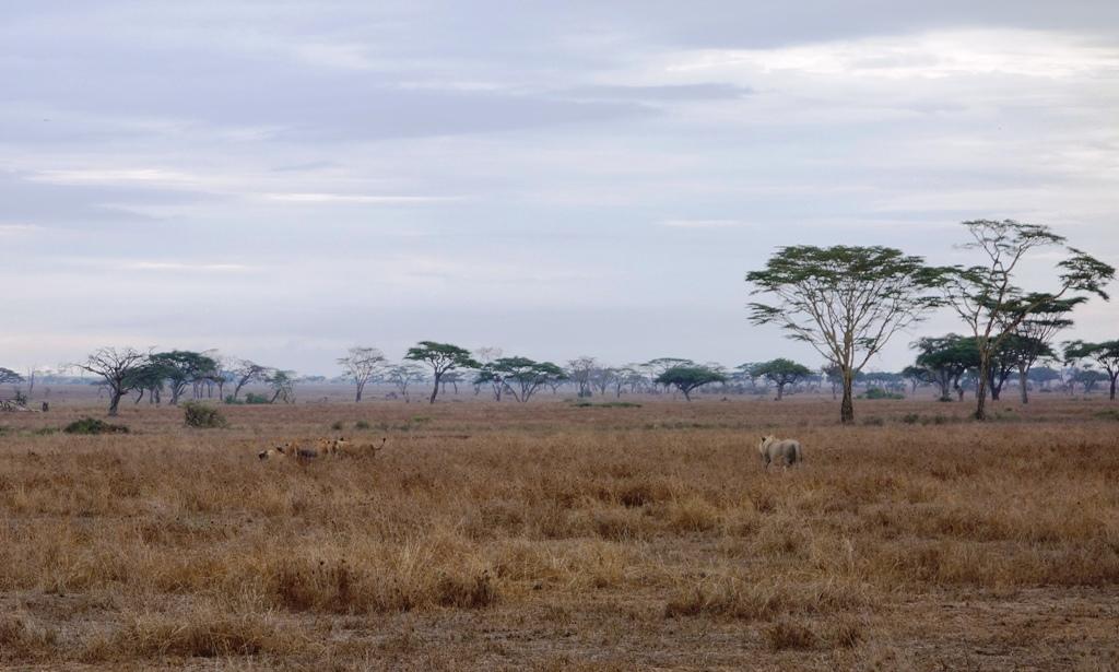 Lion hunt finish