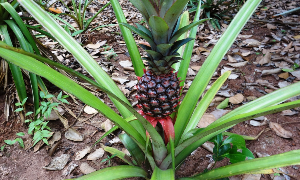 Young Pinapple