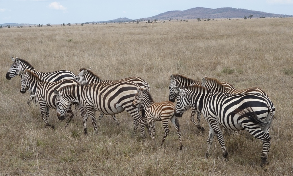 Zebras outside of camp