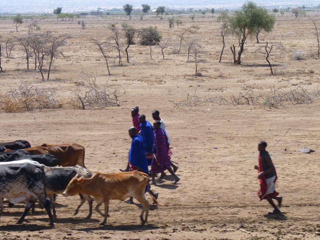 Masaai herding cows