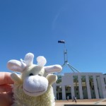 Cow at the Australian parliament
