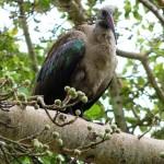 Hadedah ibis