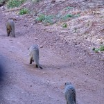 Stripped mongoose