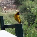 Yellow babit