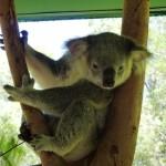 Cute (awake) koala