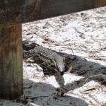 Goanna, Monitor Lizard