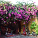 Bougainvillea makes the houses even pretier