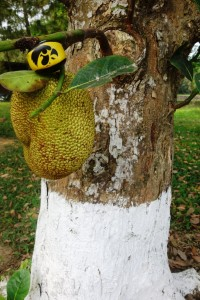 Trying to eat a jackfruit